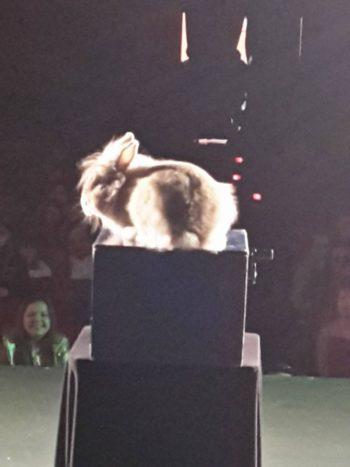 Apparizione coniglio