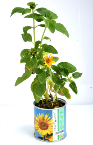 Girasole Fiori in Lattina